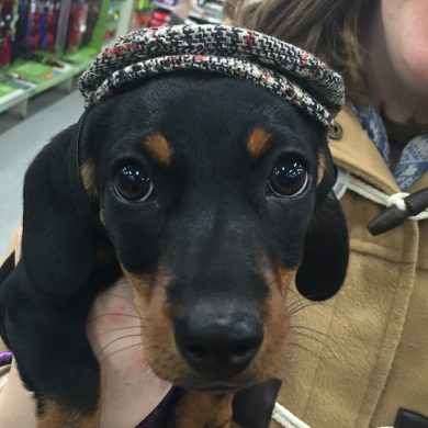 Pinto The Mini Dachshund